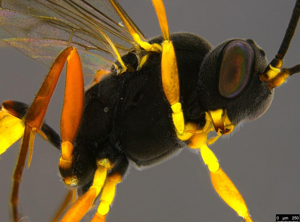 11b - Ichneumonidae sp.