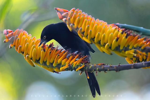 - TORDO RENEGRIDO - negro-azulado tornasol - ( Molothrus bonariensis -Shiny Cowbird ) toma en sombra en flores gigantes de aloe vera  BOTANICO THAYS, PALERMO . BUENOS AIRES ARGENTINA.