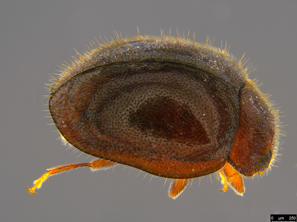 5a - Coccinellidae sp.