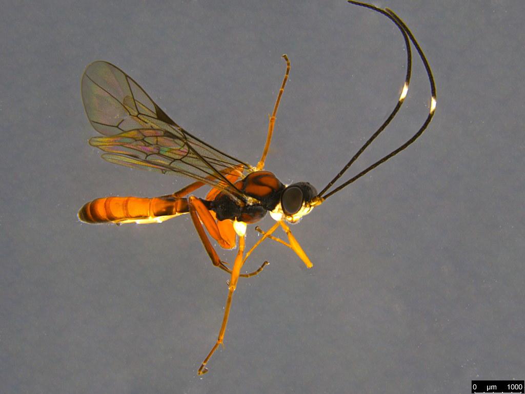 12a - Ichneumonidae sp.