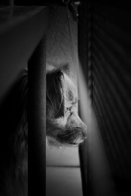 Laika vigilando la calle desde el balcón