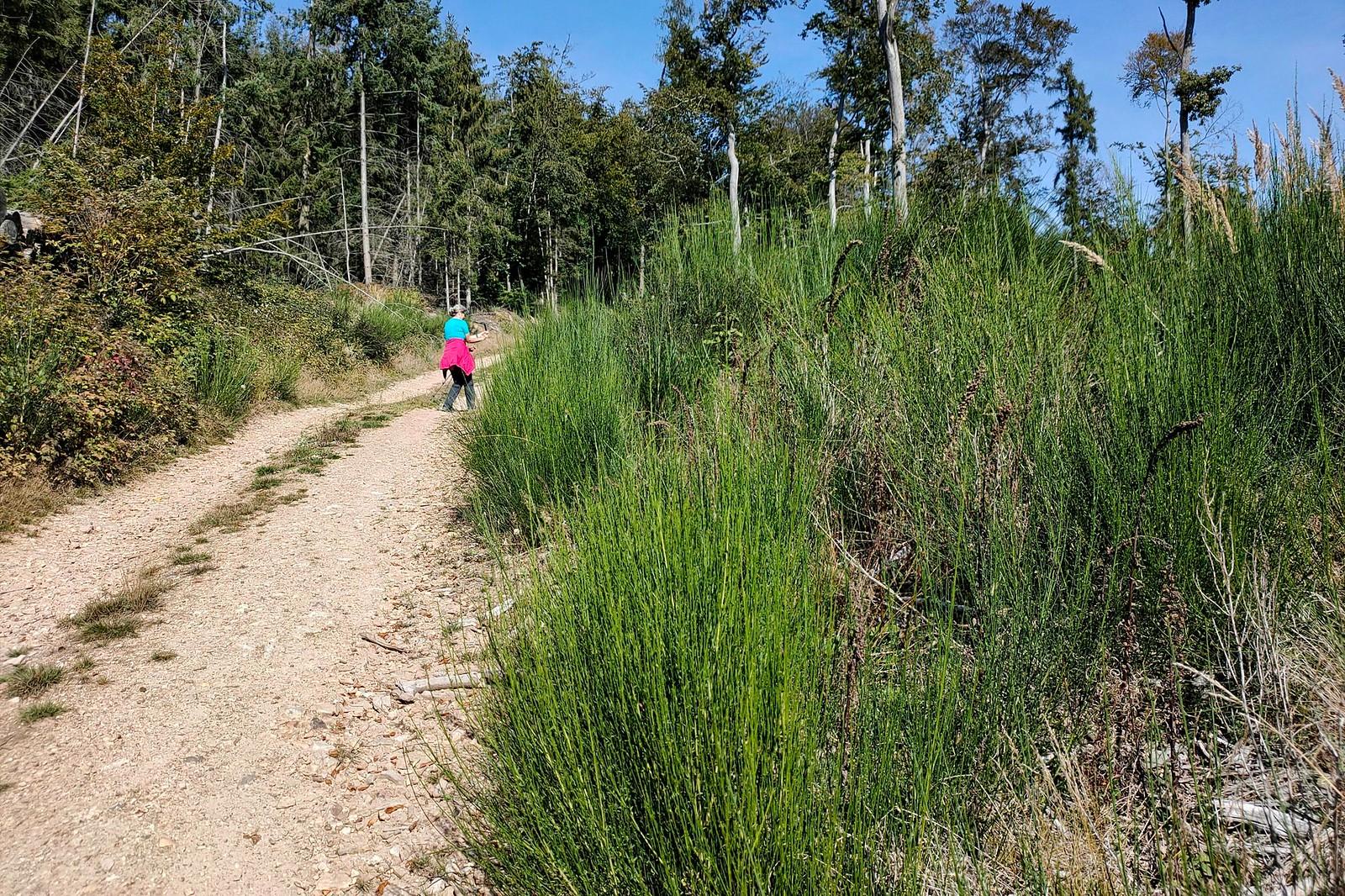 Abstieg von Hallgarter Zange, leider nur forstwirtschaftlichen Wege mit hartem Boden und lange Strecke mit gewölber Oberfläche