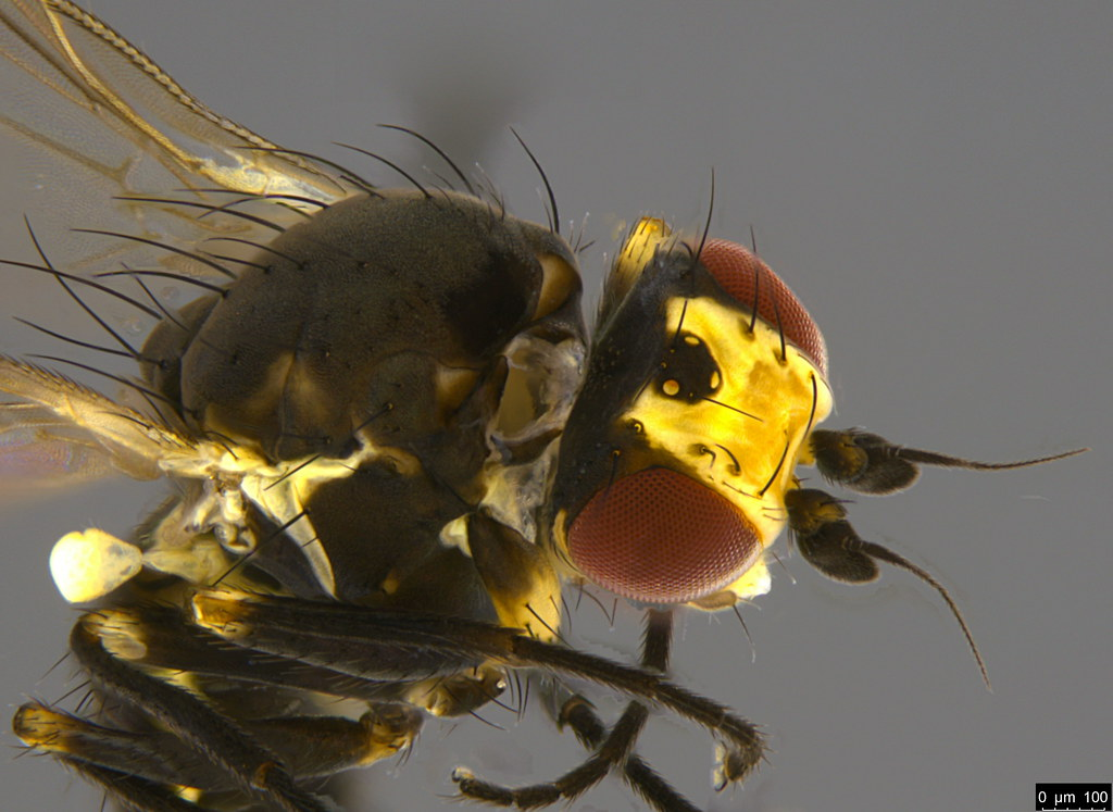 7c - Diptera sp.