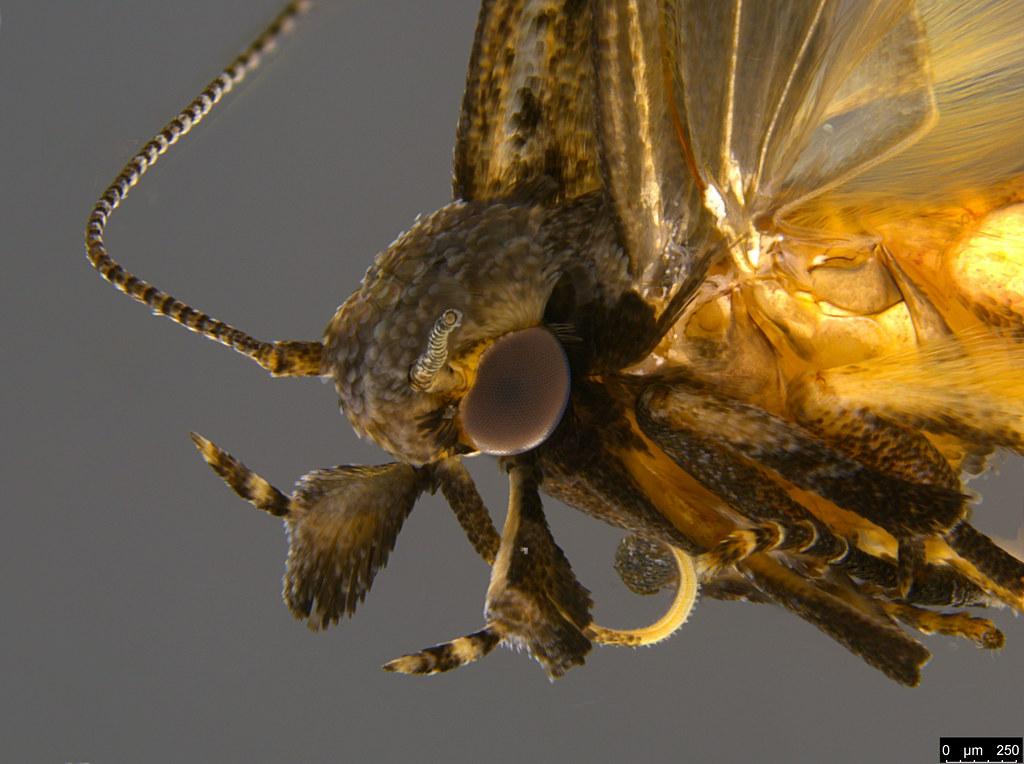 13b - Gelechiidae sp.