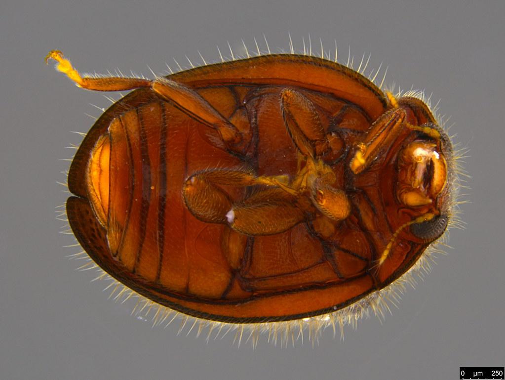 5b - Coccinellidae sp.