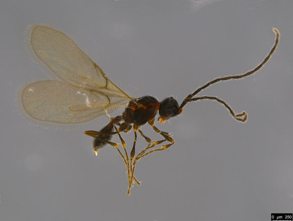 9 - Diapriidae sp.
