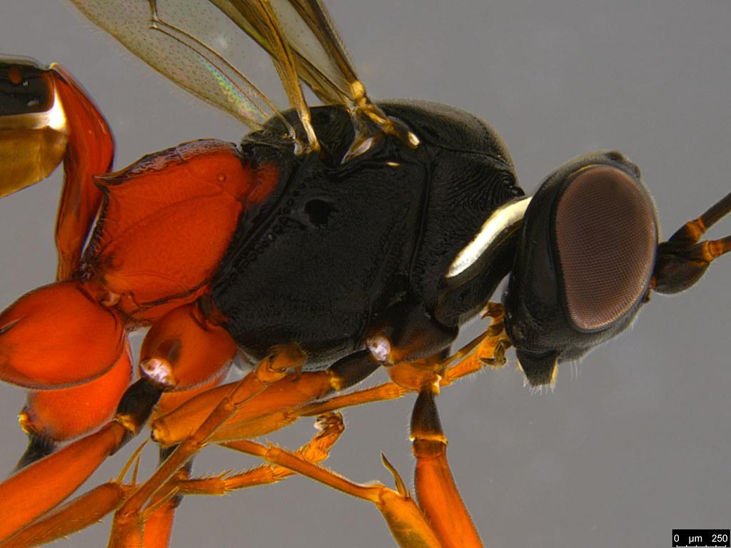 10b - Anacis sp.