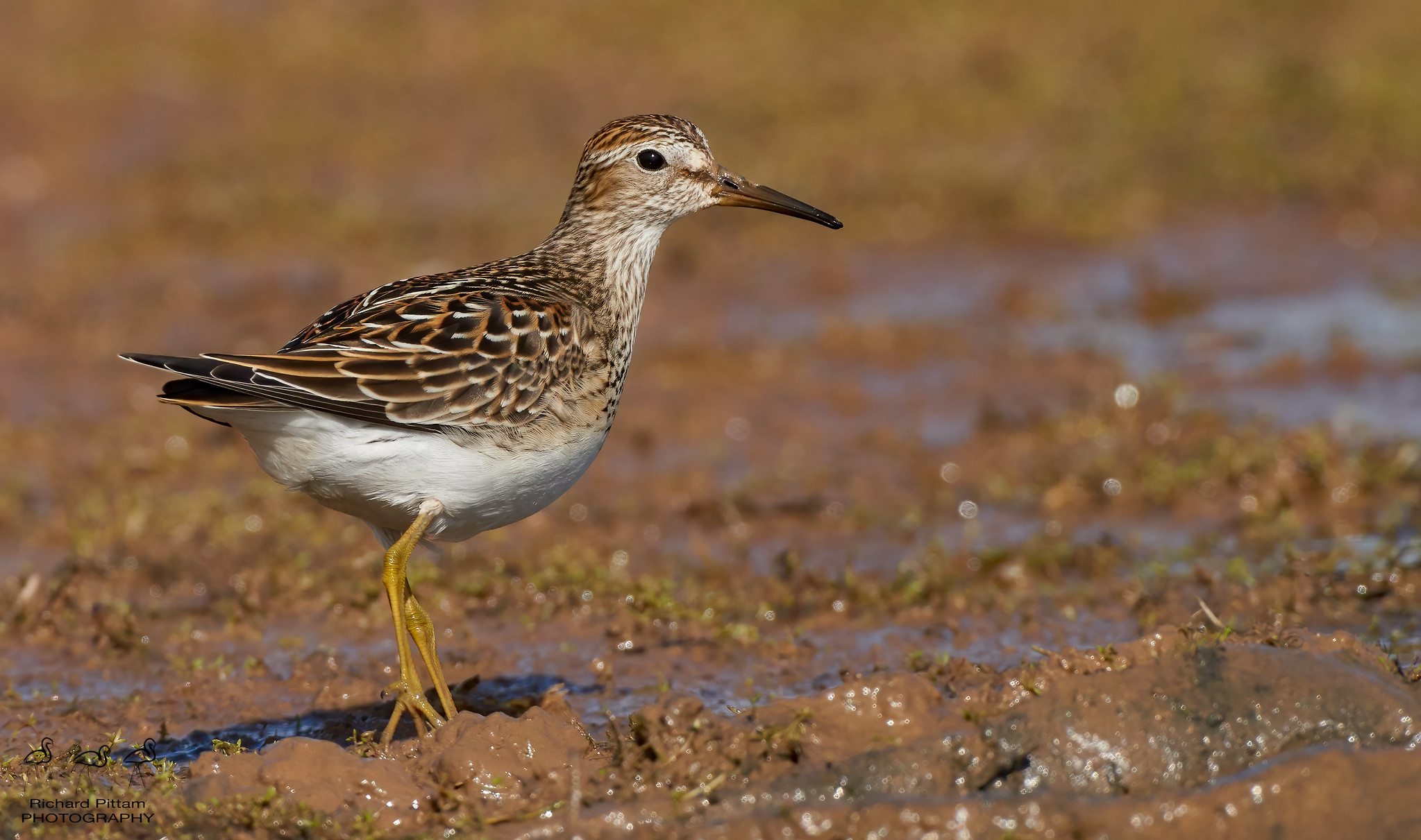 Pectoral Sandpiper [ good session with lovely obliging bird]