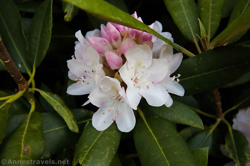 Rhododendron flowers, Fred Clifton Park, Lover's Leap, Virginia