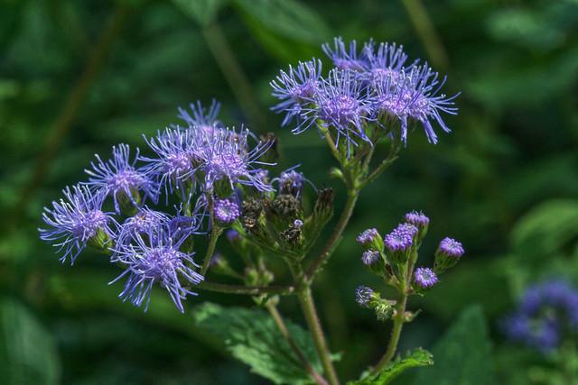 Blue Mistflower, Later Phase