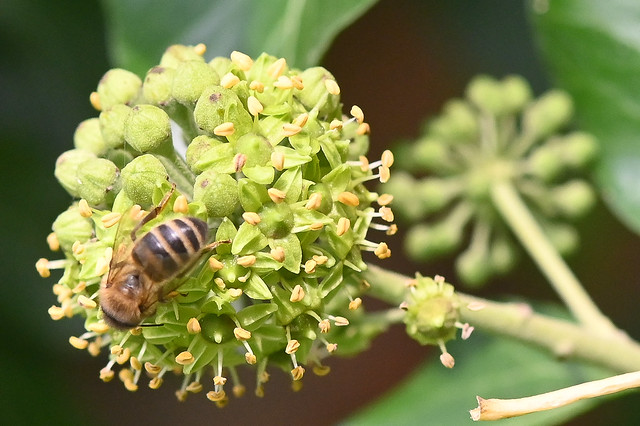 Colletes hederae  -- The Ivy Mining Bee  --  L'abeille du lierre