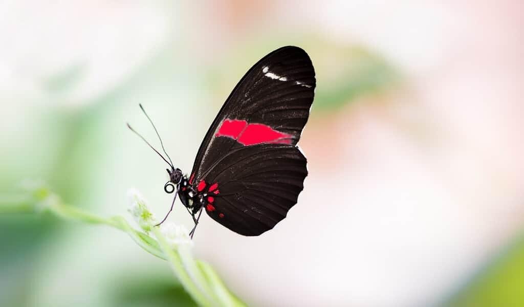des-papillons-femelles-peuvent-voir-une-couleur-ultraviolette-supplémentaire