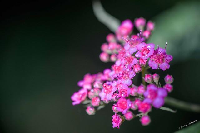 Japanese meadowsweet or Japanese spiraea