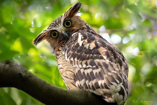 @()@.    ( Buffy Fish Owl )