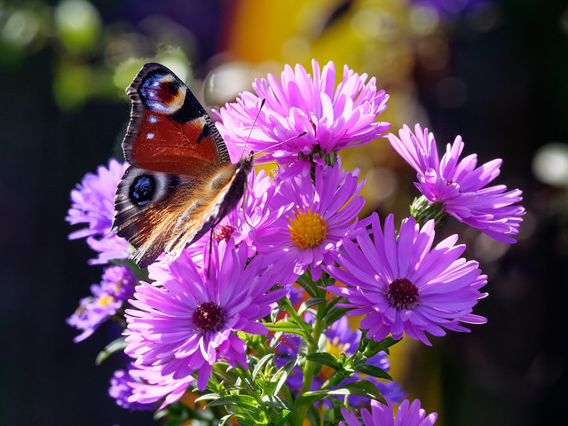 Butterfly at aster