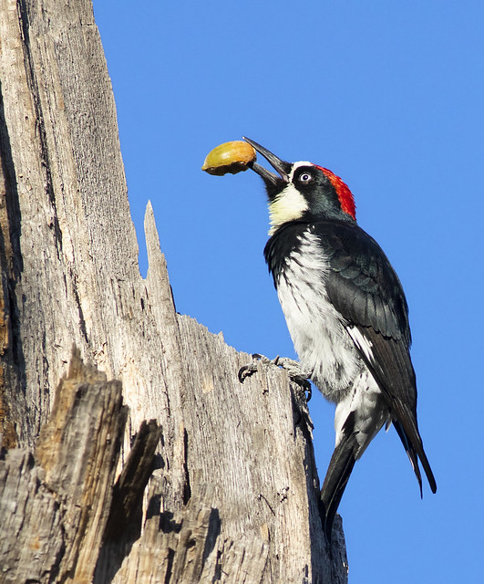 Acorn Woodpecker at granary