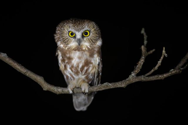 Northern Saw-whet Owl   Aegolius acadicus   Petite Nyctale at the Prince Edward Point Bird Observatory, Prince Edward Point National Wildlife Area, Prince Edward County, Ontario, Canada