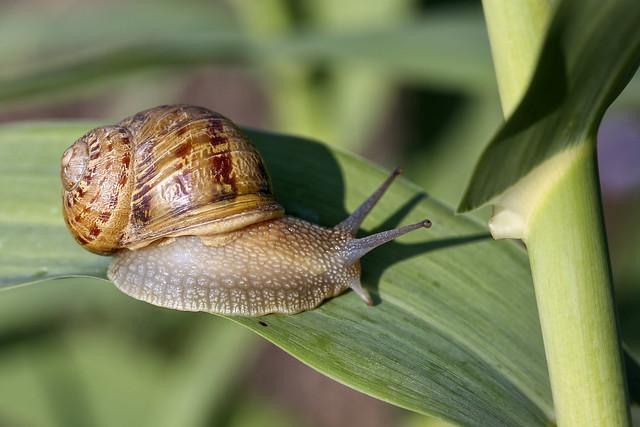 Chiocciola_____Snail