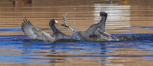 Coots in combat - take that!