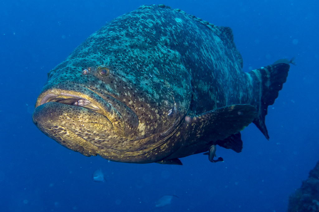 Goliath Groupers 3