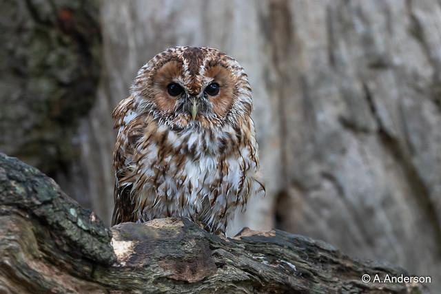 Tawny Owl 20211001 Lingfield BWC