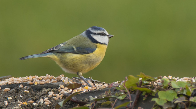 Blue Tit. One of my friends along the Dodder River( ireland) puts seeds on the walls of the riverbank