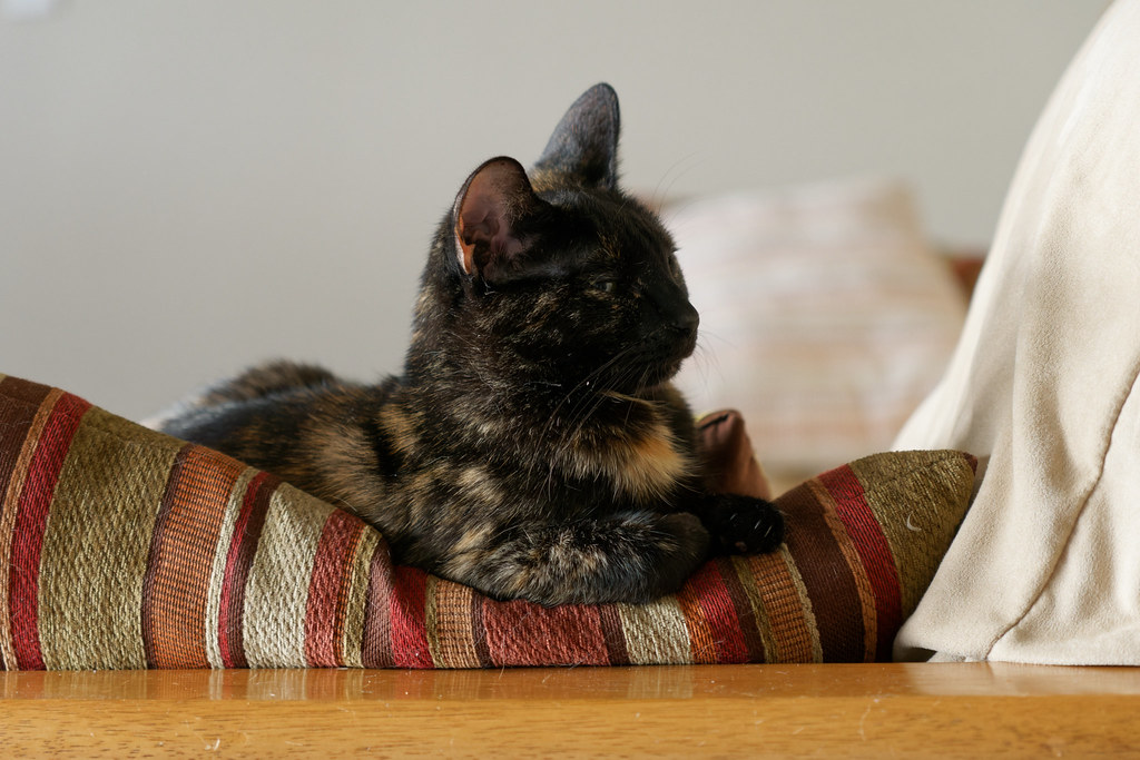 Our cat Trixie rests on pillows at the edge of a futon on July 8, 2021. Original: _CAM1901.arw