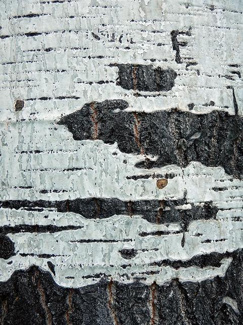 grey & white tree bark