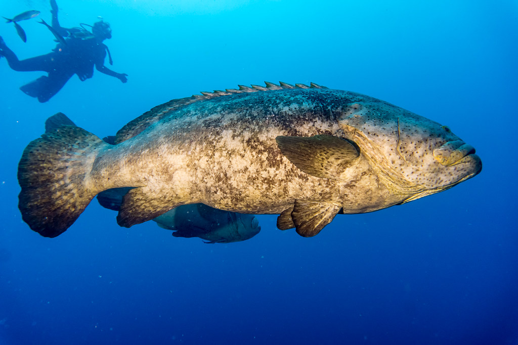 Goliath Groupers 2