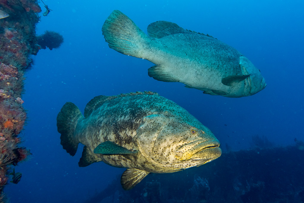 Goliath Groupers 1