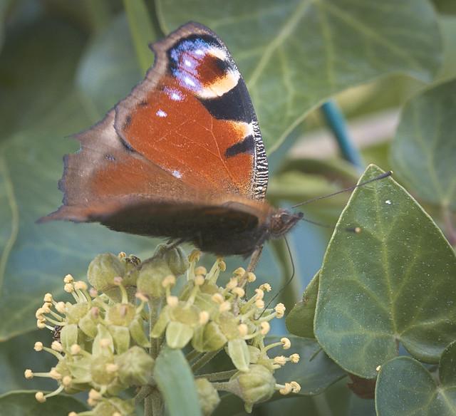 European peacock