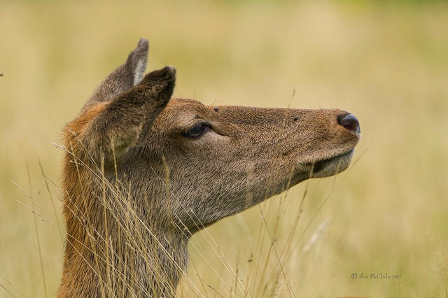 Red Deer (f)
