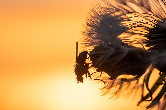 Fliege an Pusteblume zum Sonnenaufgang