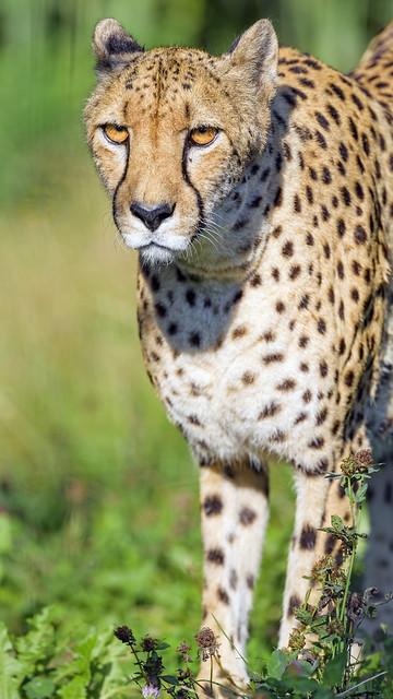 Serious cheetah walking