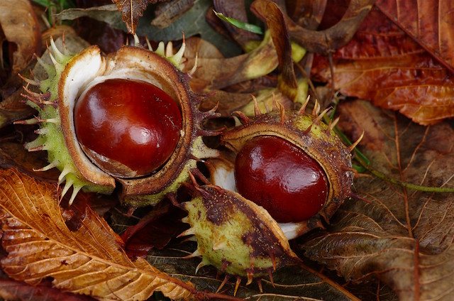 A Kentish Autumn - Conkers