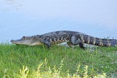 Myakka River Gator