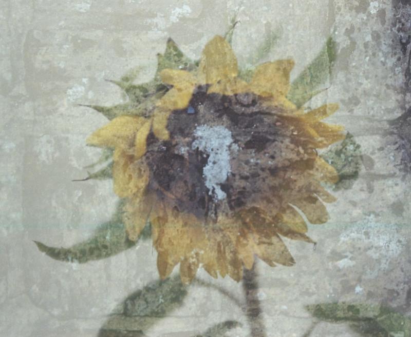 Chinon CP-7m Sunflower