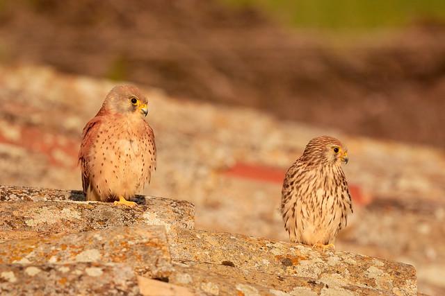 Cernicalo Primilla. Lesser Kestrel. Falco Naumanni