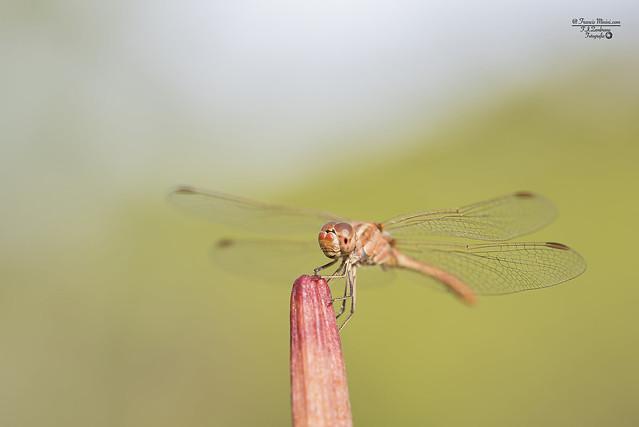 Dragon-Fly III