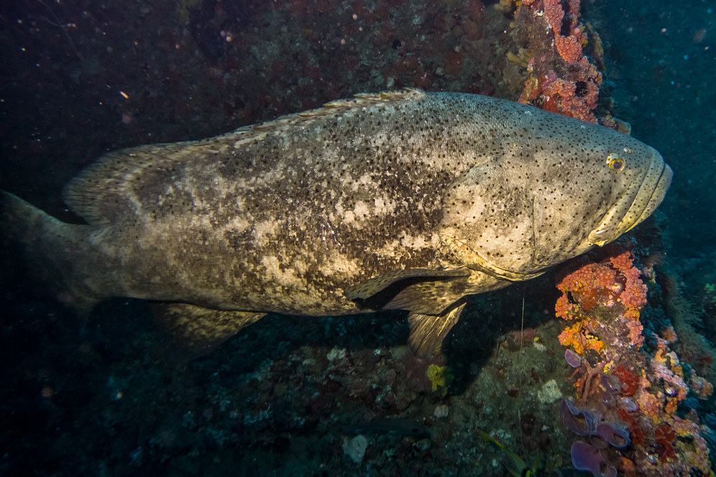 Goliath Groupers 4