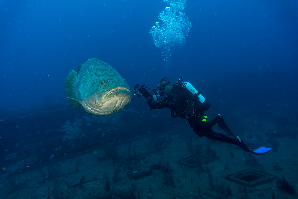 Goliath Groupers 5