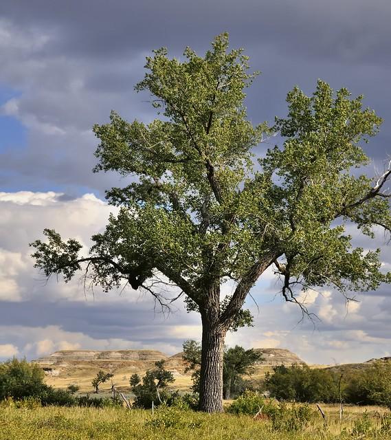 Landscape with tree, Dinosaur Provincial Park, Red Deer River Valley, Alberta