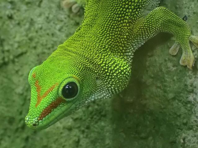 Green Audition. Phelsuma madagascariensis, Madagascar Day Gecko, ARTIS Amsterdam Zoo, Amsterdam, The Netherlands