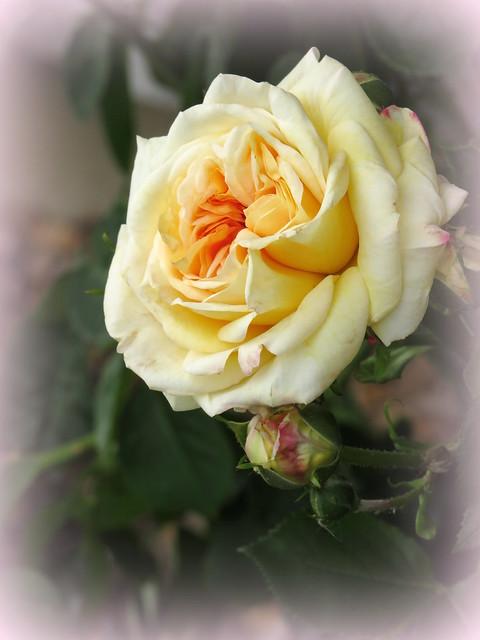 Vater's Rose