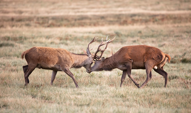 Red Stags Rutting