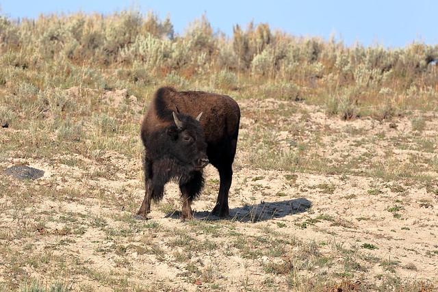 Young Bison (Hayden Valley)