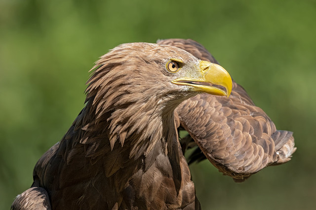 Aquila coda bianca
