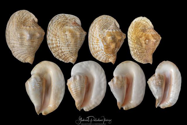 Titanostrombus goliath (Schröter, 1805)