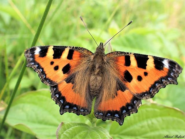 Butterfly 2058 (Aglais urticae)