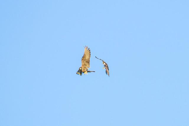 Hobby. Falco Lodolaio. (Falco Subbuteo).